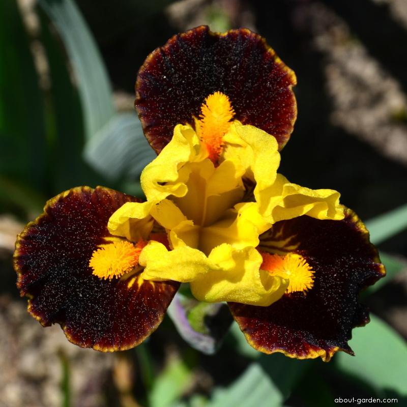 Iris - Iris Exclaim