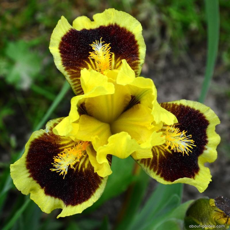 Iris - Iris Ultimate