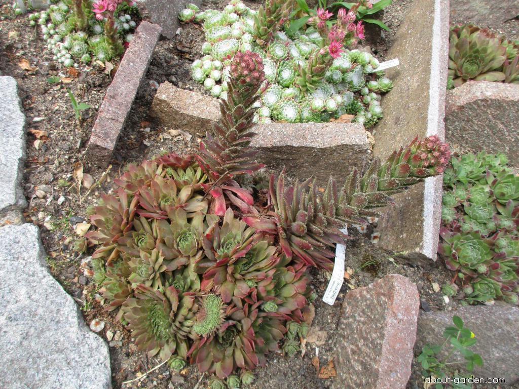 Houseleek - Sempervivum hybridum Bedivere