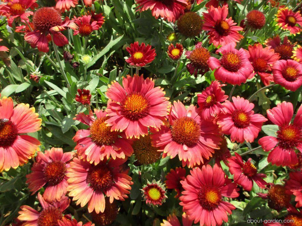 Gaillardia aristata Arizona Red Shades (gailliardia)