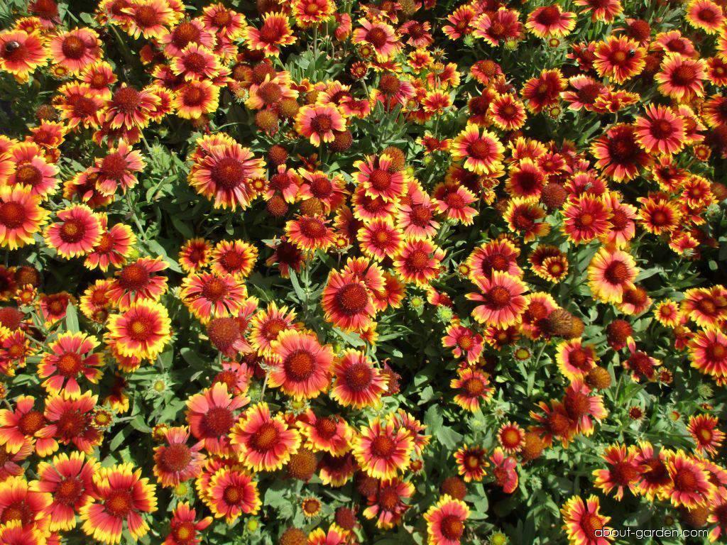 Gailliardia - Gaillardia aristata Arizona Sun