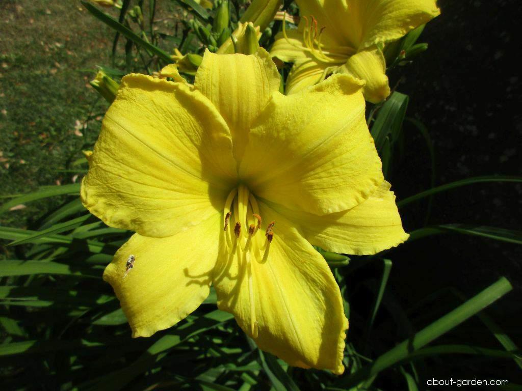 Daylily - Hemerocallis Erin Prairie