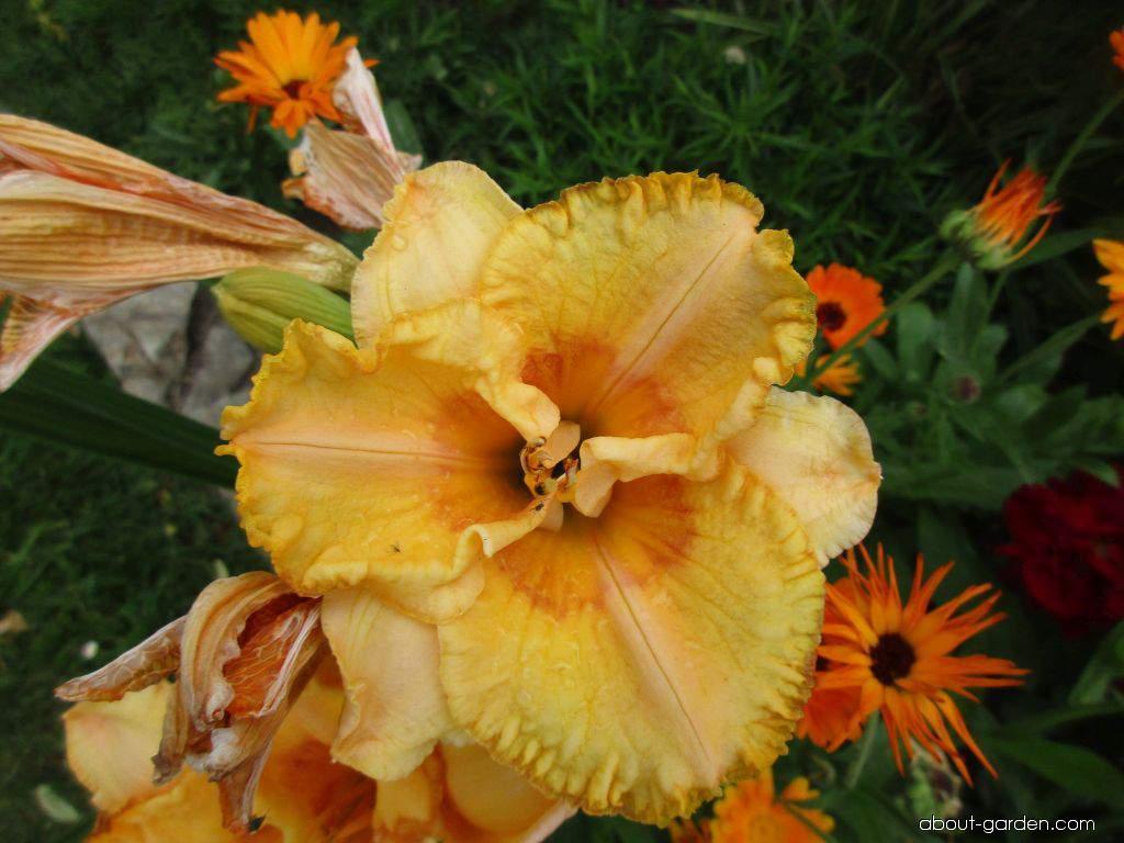 Daylily - Hemerocallis Prairie Fire
