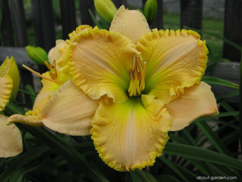 Denivka All The Magic (Hemerocallis hybrida)