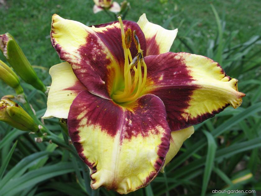 Daylily - Hemerocallis Jamaican Me Crazy