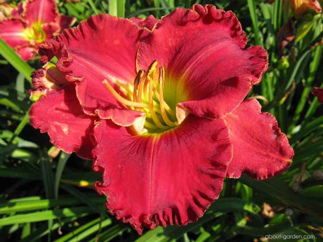 Daylily - Hemerocallis Jasmine Rossi