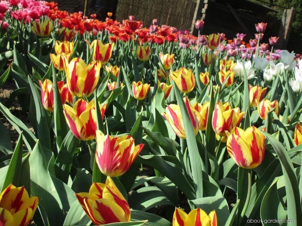 Tulip - Tulipa Color Spectacle