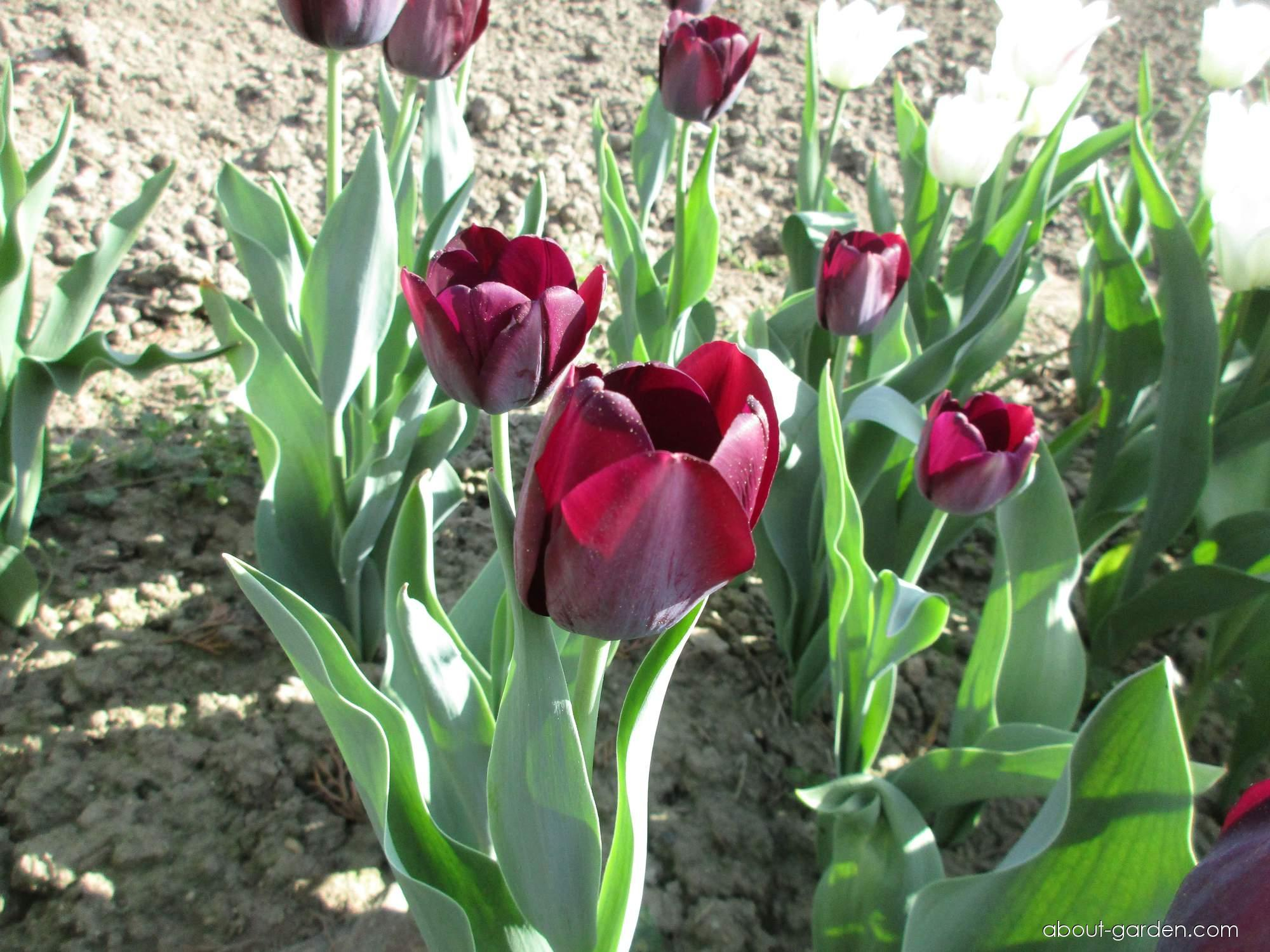 Tulipán Queen of Night (Tulipa x hybrida)