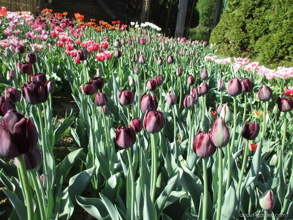Tulipa Black Diamond (Tulip)