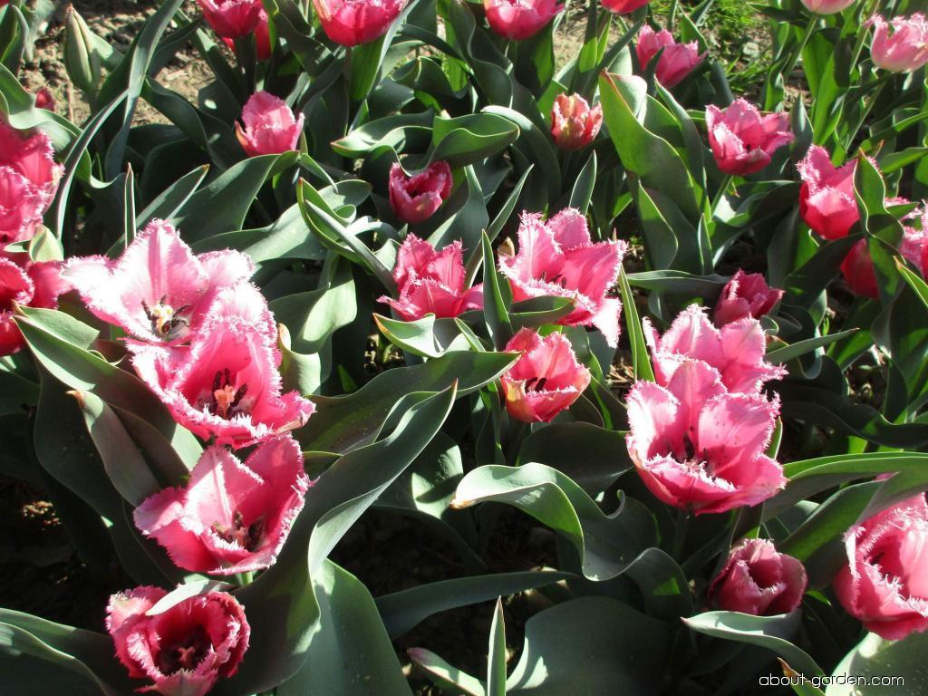 Tulipán Lavender Dream (Tulipa x hybrida)