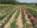 Pohled na pole růží (Rosa)