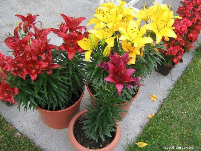 Lilie - asijské nízké hybridy (Lilium x hybridum)