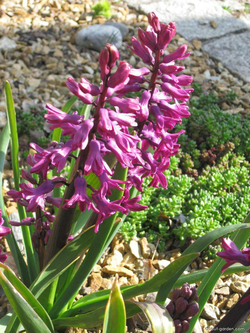 Hyacint východní (Hyacinthus orientalis)