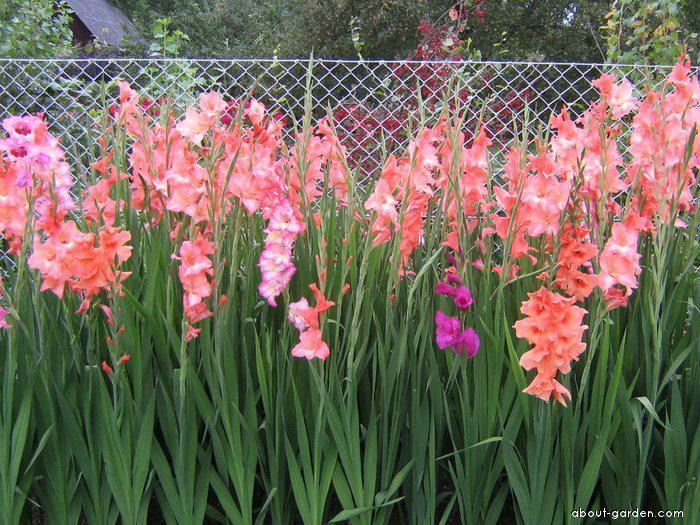 Mečík (Gladiolus)