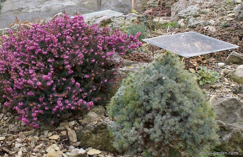 Zakrytí citlivých rostilna tabulkou plexiskla (Calluna vulgaris)
