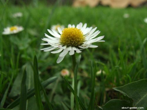 English Daisy - Bellis perennis