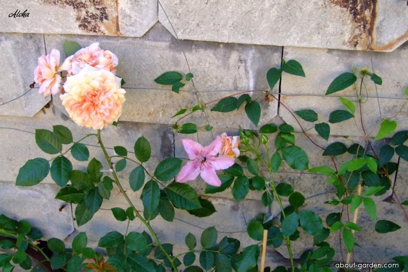 Rose - Rosa Aloha