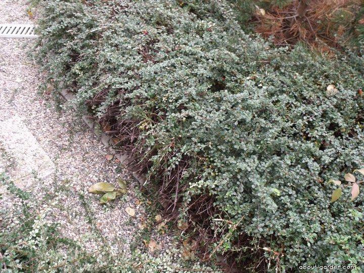 Skalník - jeden ze středně vysokých druhů asi 50cm (Cotoneaster)