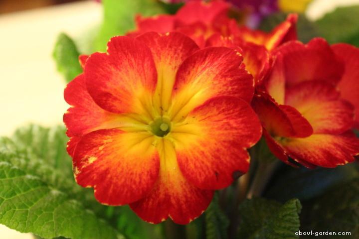 Petrklíč (Primula sp)