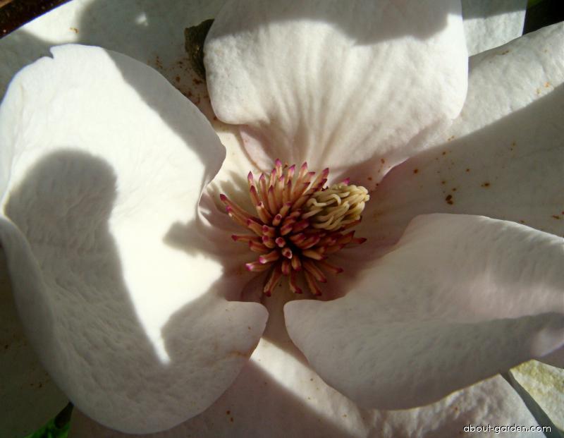 Magnólie velkokvětá Goliath - květ (Magnolia grandiflora)
