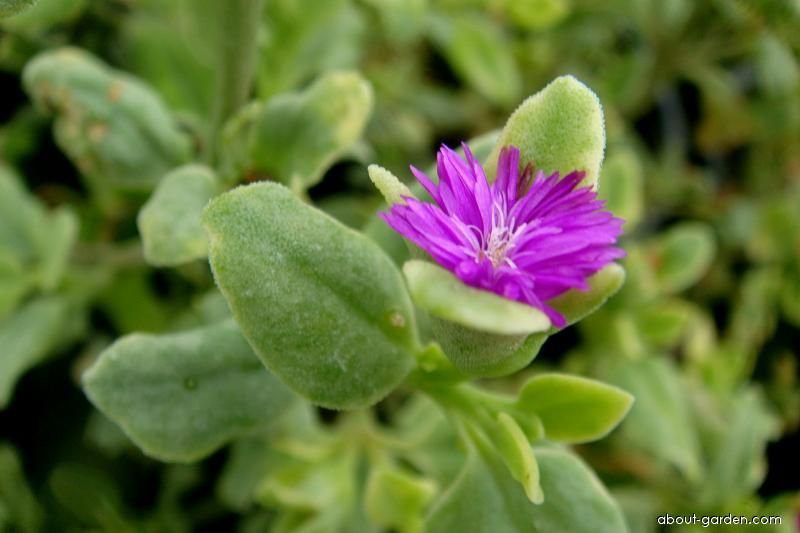 Balkonovka (Mesembryanthemum)