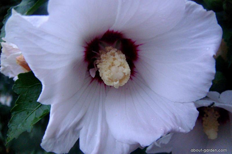 Ibišek syrský (Hibiscus syriacus)