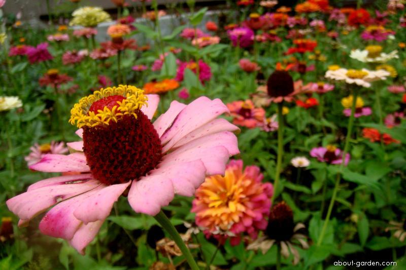 Zinnia elegans Jacq. (Youth-and-age)