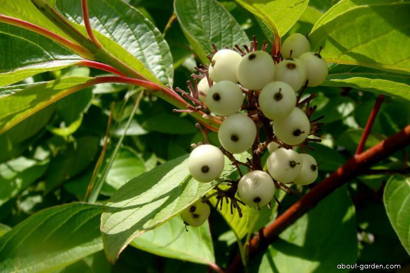 Svída bílá (Cornus alba)