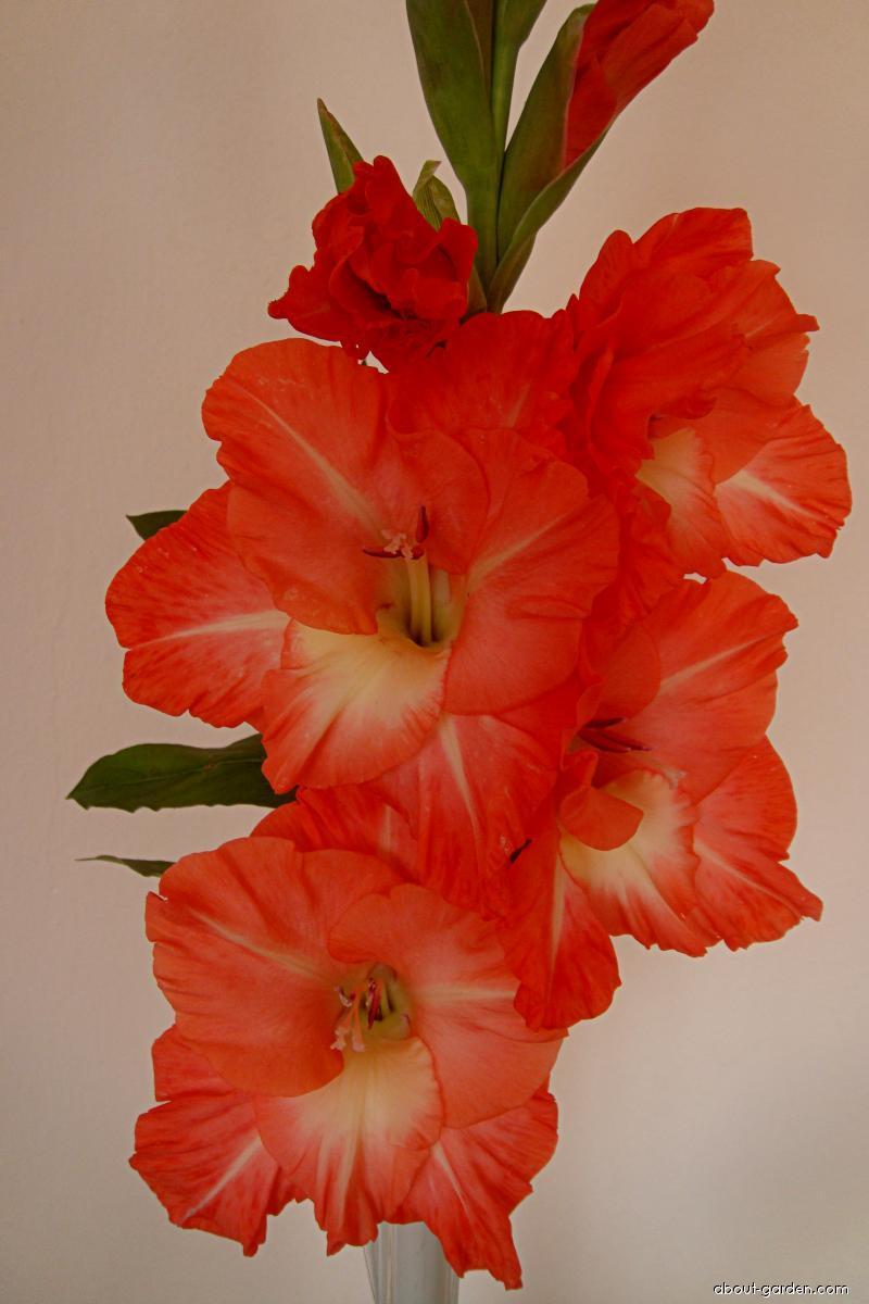 Mečík Alexej Romanov (Gladiolus)