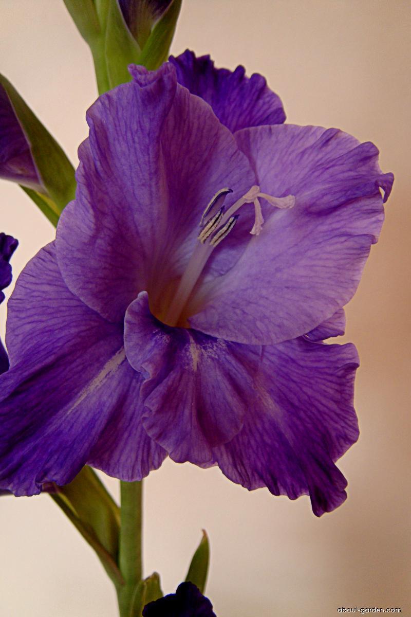 Mečík Blue ilussion (Gladiolus)