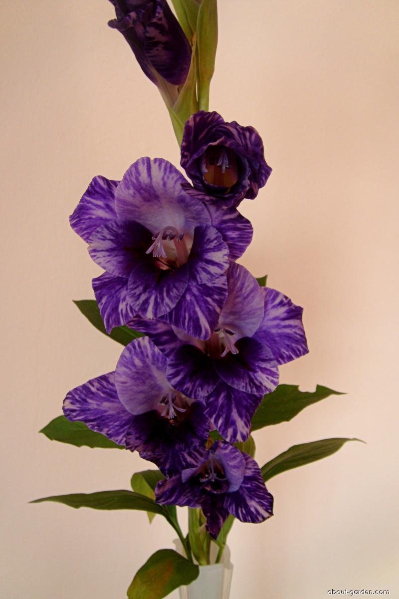 Mečík šlechtěný Passos (Gladiolus L)