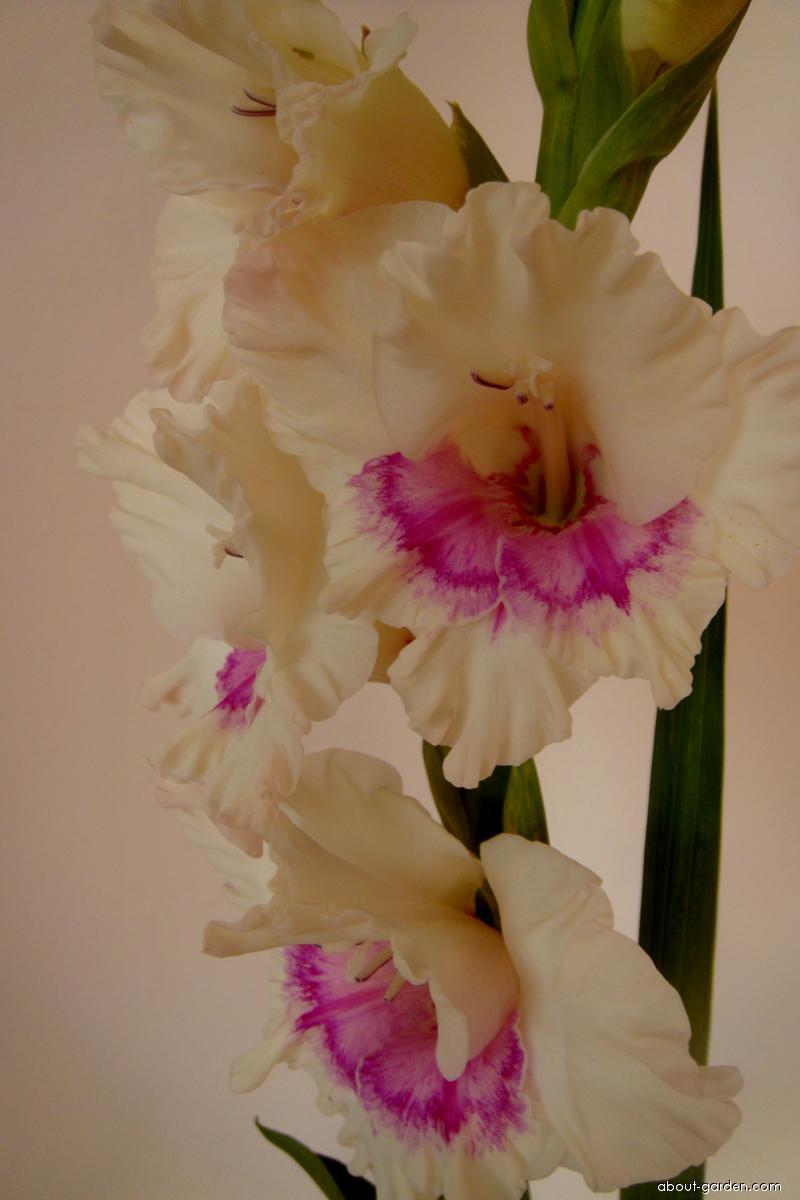 Mečík šlechtěný Milenium (Gladiolus)