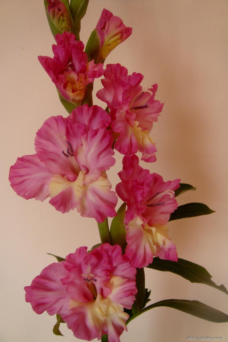 Mečíky šlechtěné (Gladiolus)