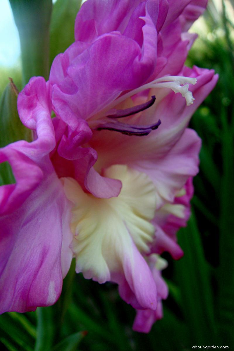 Mečík šlechtěný (Gladiolus)