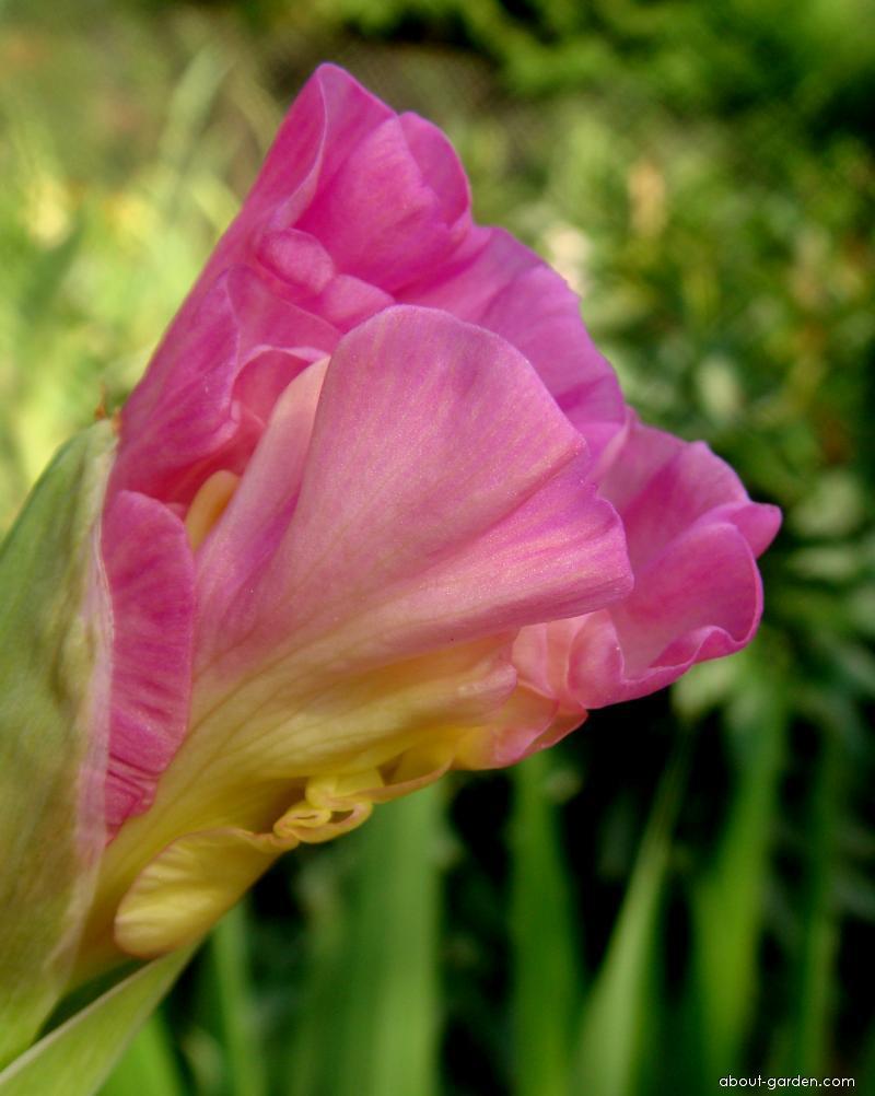 Mečík šlechtěný - rozkvétající (Gladiolus)