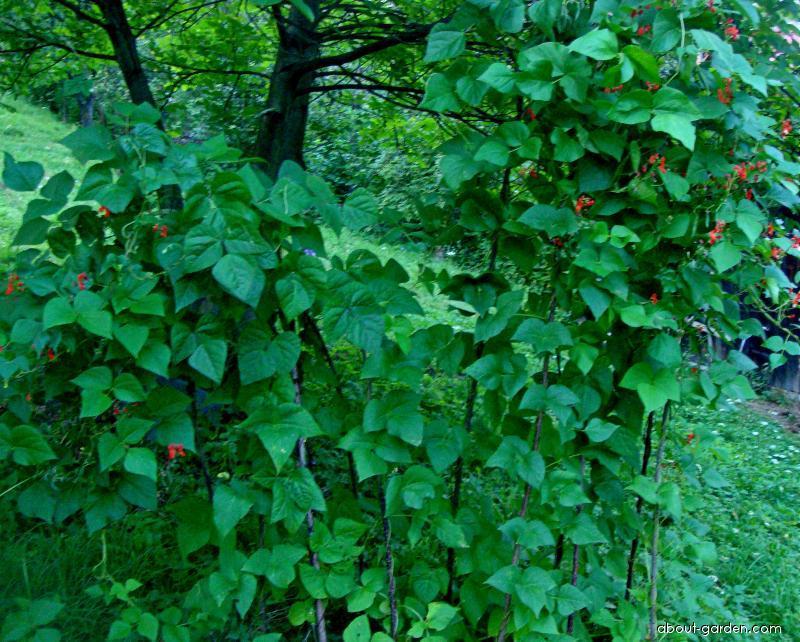 Fazol zahradní (Phaseolus vulgaris)