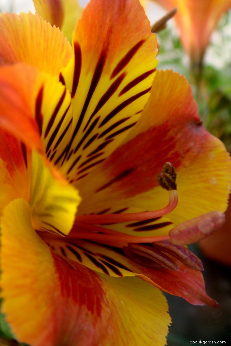 Alstremérie Princess lilies (Alstroemeria)