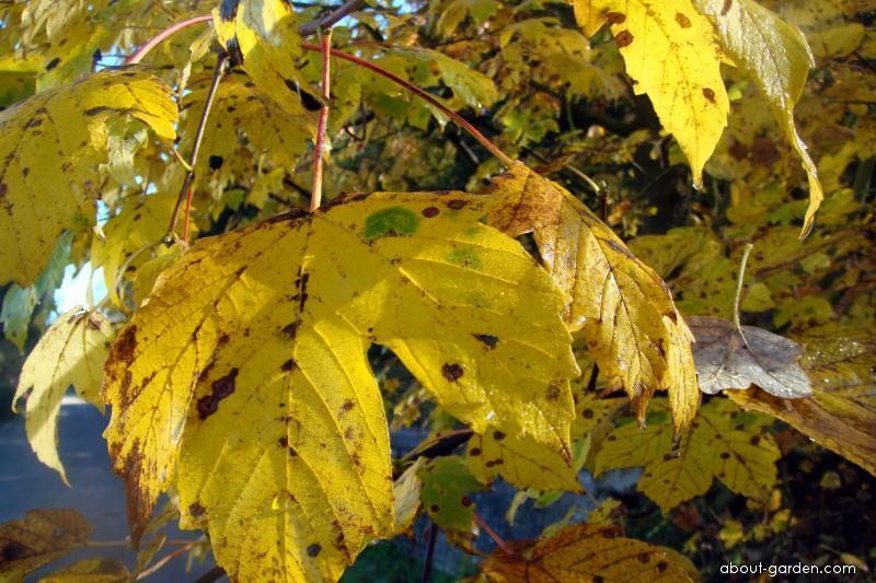 Javor klen - podzimní listy (Acer pseudoplatanus)