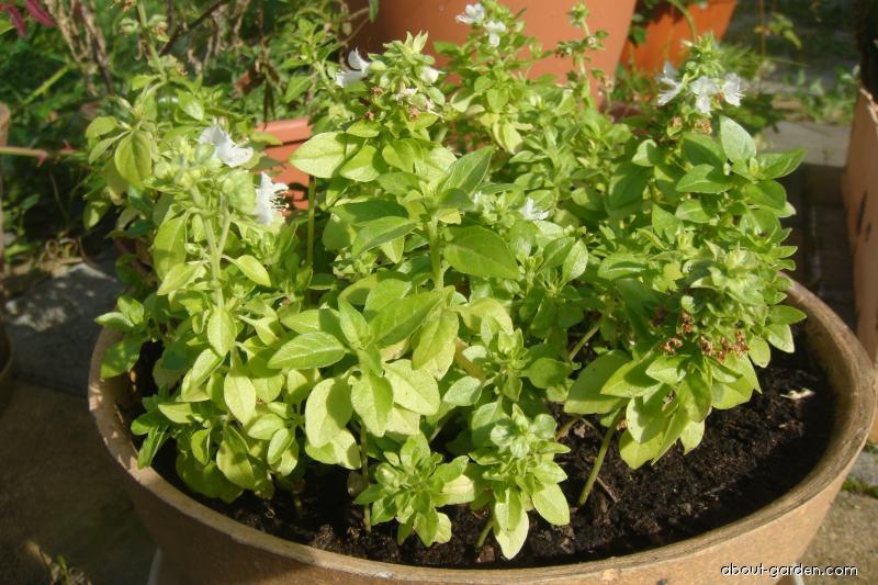 Sweet Basil - Ocimum basilicum