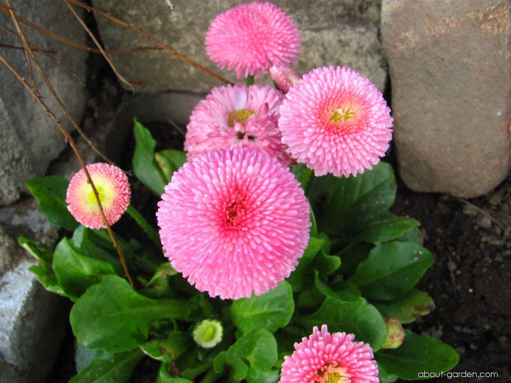 Bellis perennis (English Daisy)