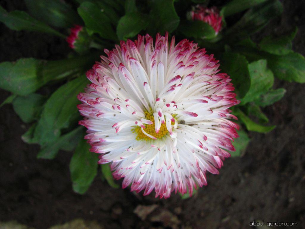 Photo english daisy about garden bellis perennis english daisy izmirmasajfo