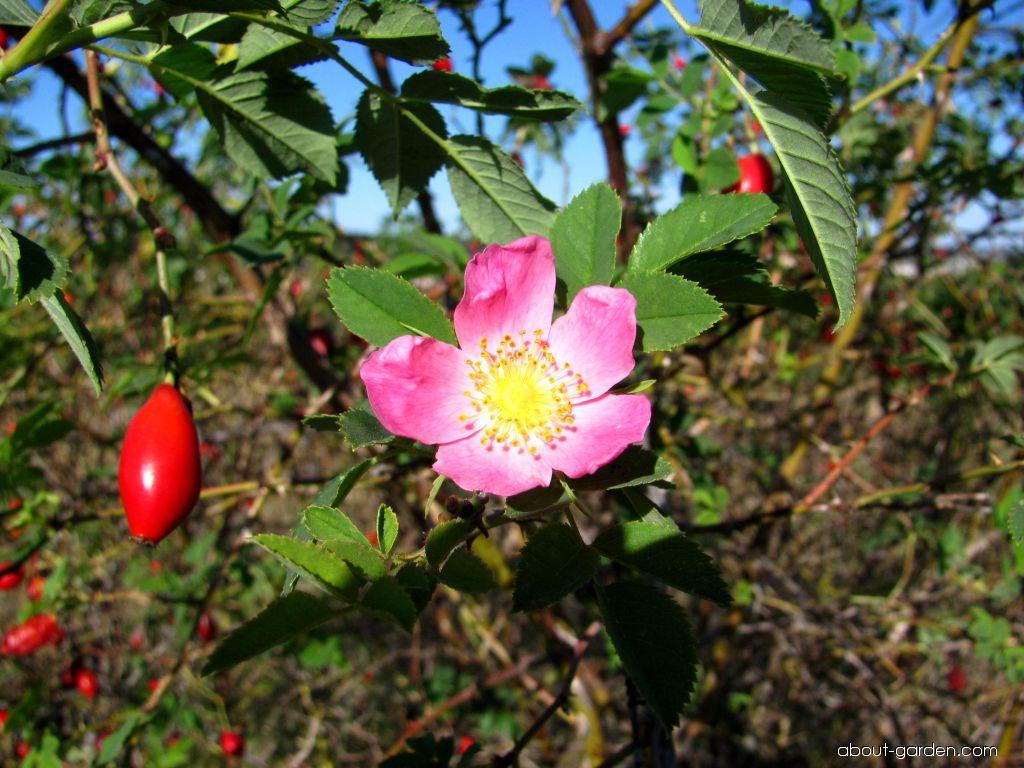 Dog rose - Rosa canina
