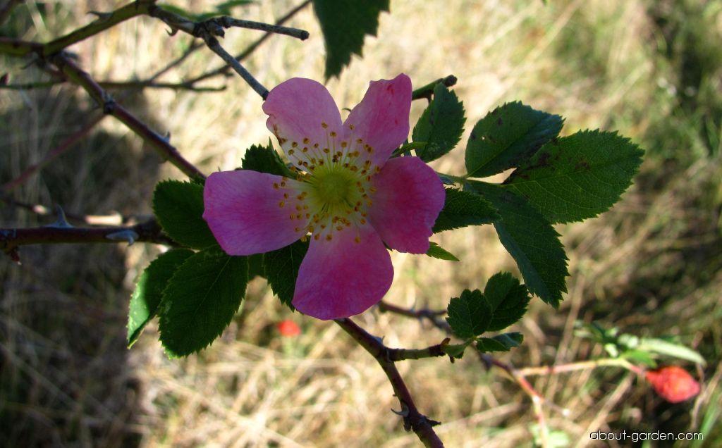 Růže šípková - šípek (Rosa canina)