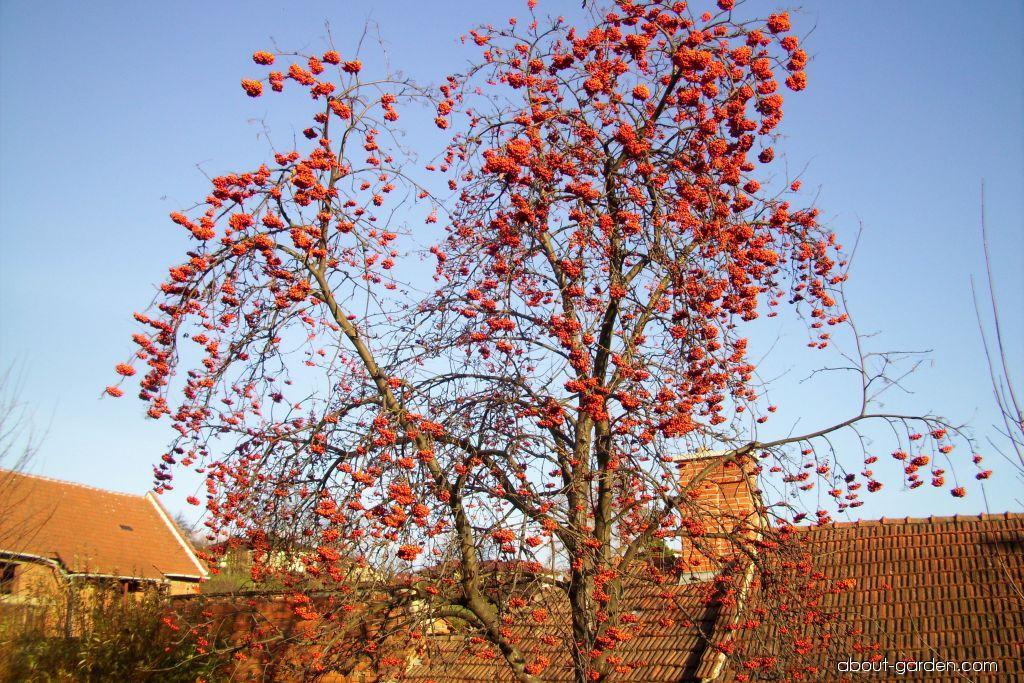 Jeřáb sladkoplodý (Sorbus aucuparia subsp edulis)