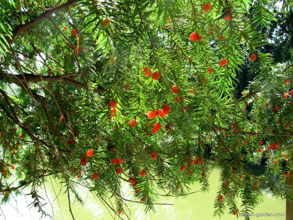 Tis červený - Lednice park (Taxus baccata)