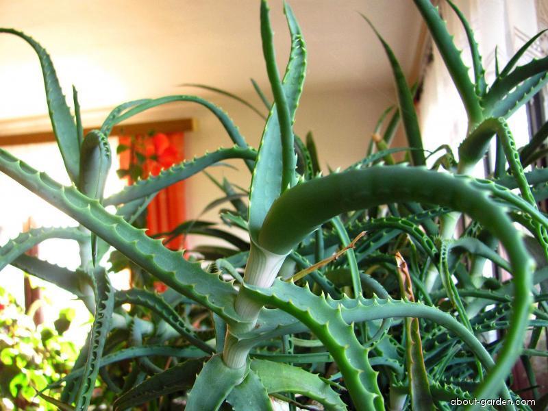 Aloe stromovitá (Aloe arborescens)