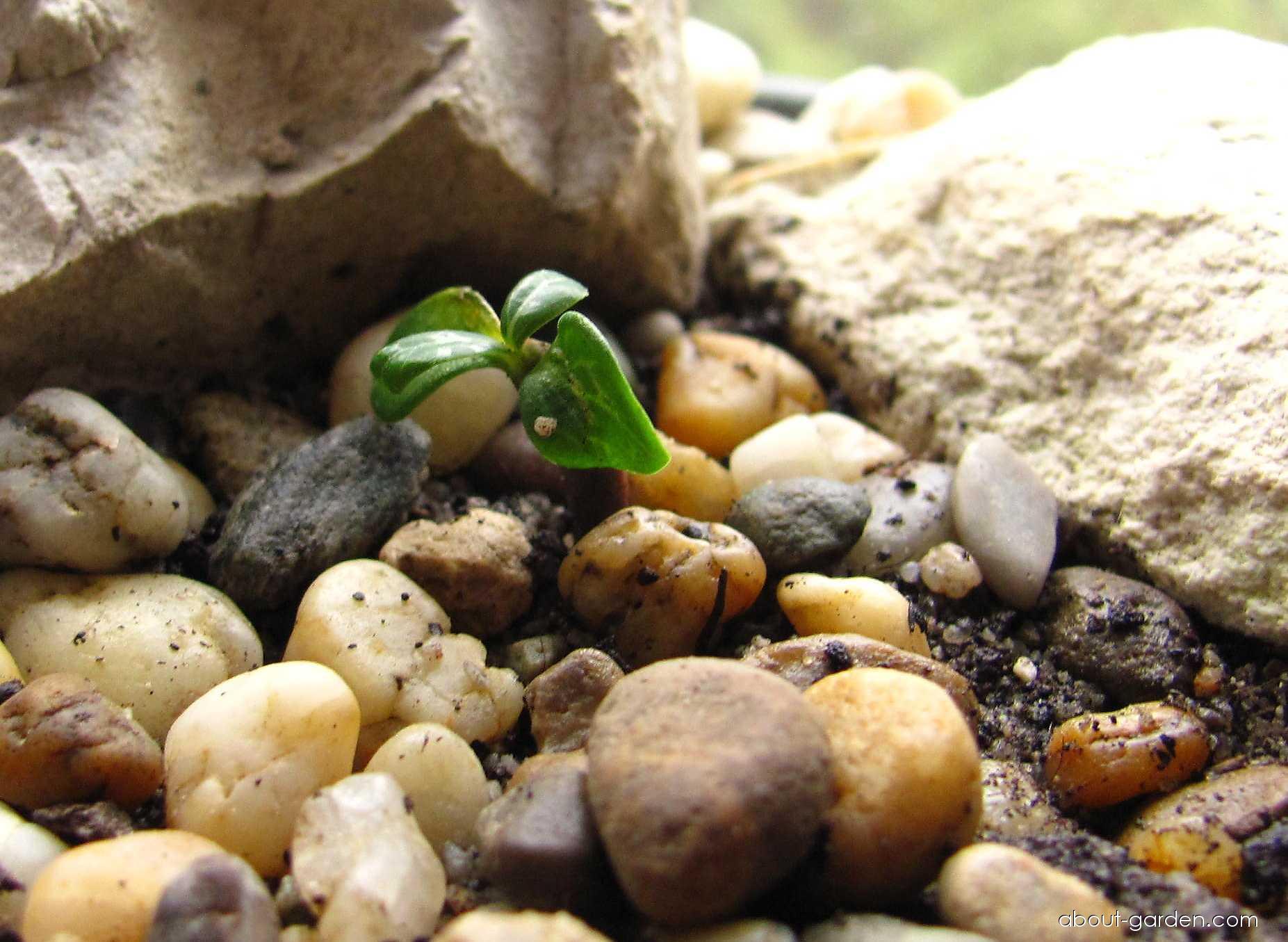 Adenium - semenáček (Adenium obesum)