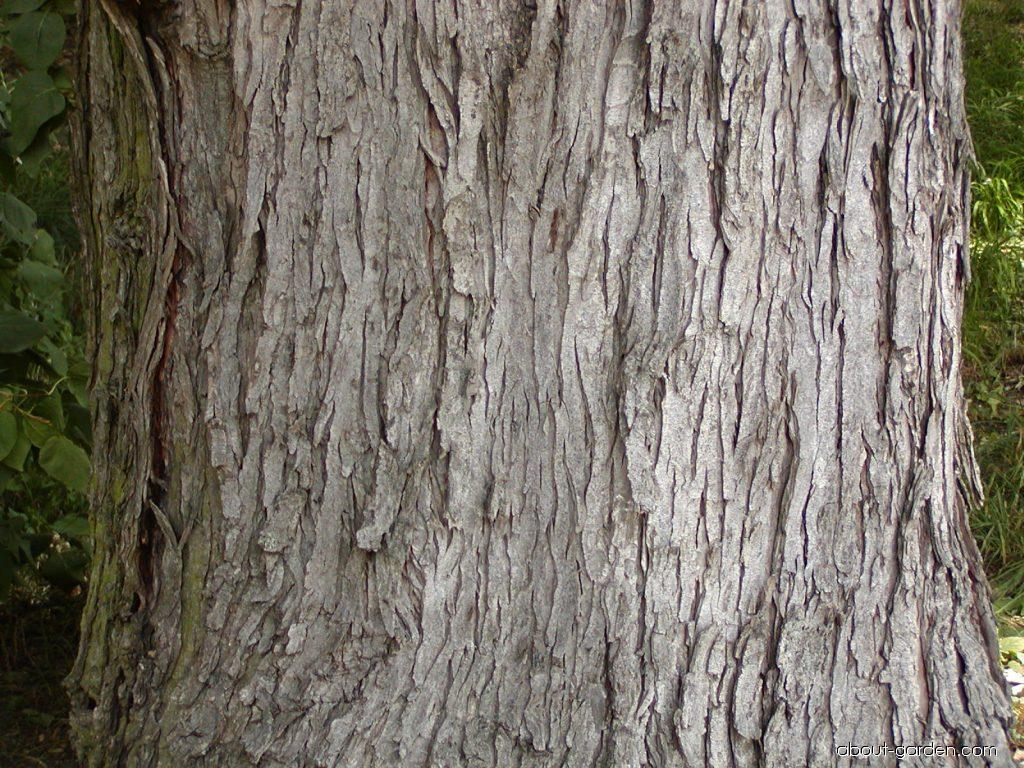 Photo Silver Maple About Gardencom