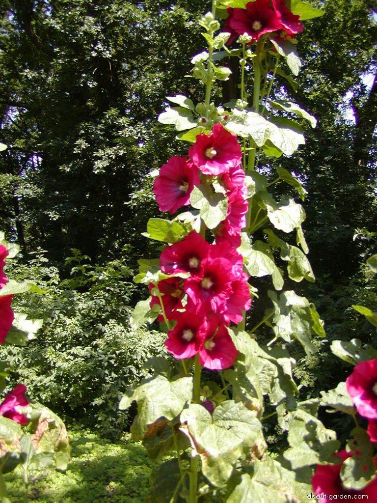 Rose mallow - Alcea rosea