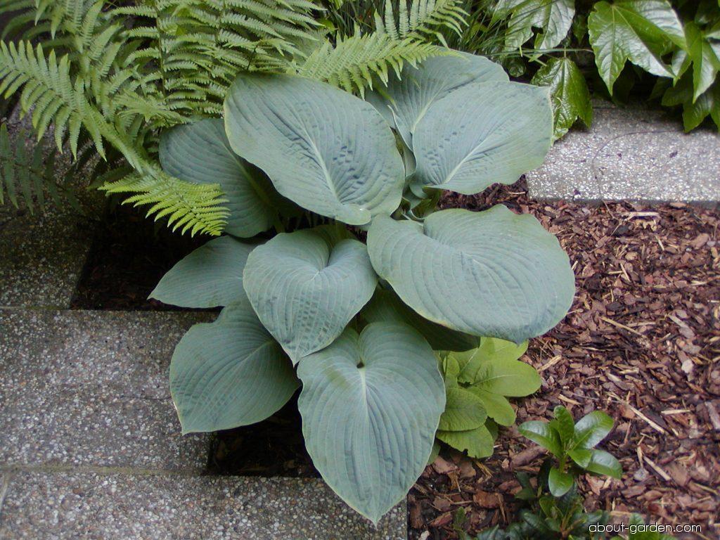 Photo Plantain Lily Elegans